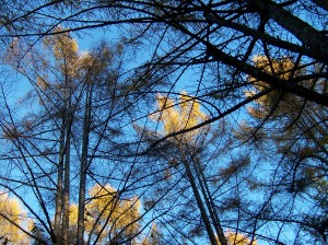 blueskygoldrees